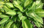 Жемчужина участка: 6 советов по выращиванию красивой хосты