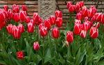Цветущий сад тюльпанов: можно ли их пересаживать сразу после цветения