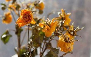 За цветами хороший уход, но они все равно вянут: приметы