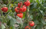 Не спешите выбрасывать ботву помидоров: 5 способов применить ее с пользой