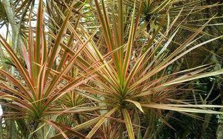 Субтропическая красавица: драцена маргината или окаймленная