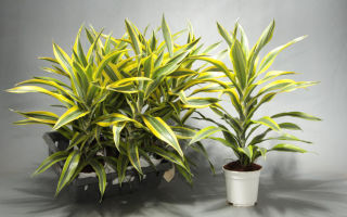 5 причин, почему у драцены желтеют и высыхают листья, и как с этим бороться