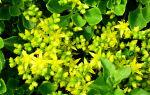 Очиток едкий: неприхотливое украшение для любого цветника