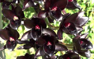 Темнее ночи: какой вид орхидеи считается самым черным по цвету
