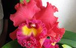 Каттлеи: самые загадочные из орхидей