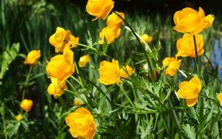 Купальница – любимый цветок троллей