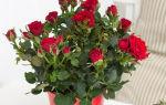 Комнатная роза: нюансы ухода в домашних условиях