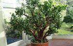 Спасаем денежное дерево: 5 причин, почему растение вянет
