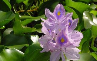 Водный гиацинт: роскошный обитатель прудов и аквариумов