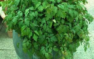 Циссус — декоративный комнатный виноградник, фото