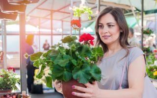 7 причин пожелтения листьев у герани