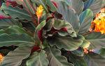 Калатея кроката – красавица, которая покоряется не всем