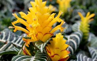 Цветок Афеландра — как ухаживать за тропиканкой
