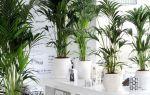 Ховея: самая неприхотливая домашняя пальма