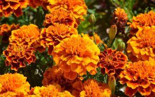 Как увеличить всхожесть семян бархатцев, чтобы они взошли щеткой
