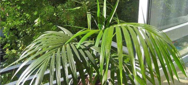 Превращаем квартиру в тропики: 8 пальм для курортного настроения у вас дома