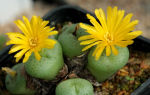 Какое растение называют неуязвимым живым камнем