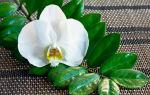 Как цветет тропический замиокулькас в домашних условиях