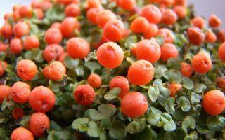 6 почвопокровных растений, которые можно поселить на подоконнике
