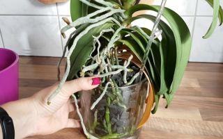 Почему корни орхидеи начинают вылезать из горшка и расти вверх
