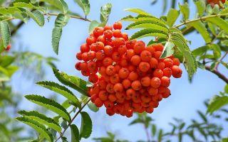 Выращивание и уход за красной рябиной