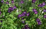 Азарина маурандия – яркая цветочная гирлянда