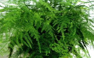 Четыре причины вырастить дома Аспарагус перистый