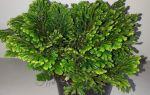 6 ажурных комнатных растений с резными листьями