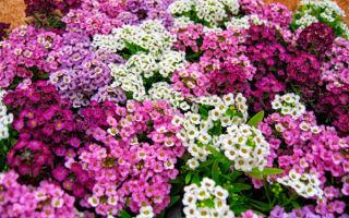 Алиссум: описание, уход, выращивание и размножение