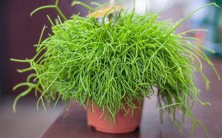 10 красивых ампельных растений для украшения оконных проемов, балконов