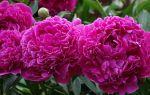 8 ядовитых растений, которые не нужно сажать в вашем саду
