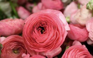"""Двойники роз: 5 цветов, которые похожи на """"королеву"""" сада"""