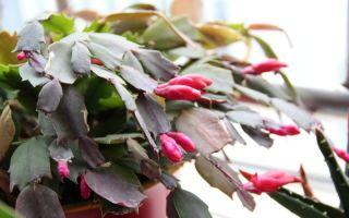 Почему краснеет декабрист и можно ли вернуть листьям зеленый цвет