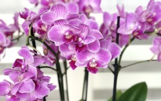 Можно ли спасти орхидею, если остались только корни