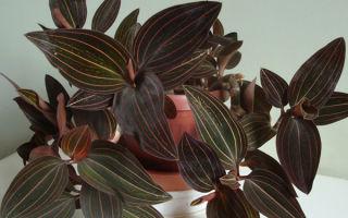 Драгоценная орхидея Лудизия: уход в домашних условиях