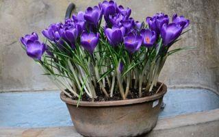 4 луковичных сажаем на выгонку в конце осени, чтобы растения зацвели к 8 Марта