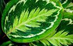 Пять причин почему у калатеи скручиваются и сохнут листья