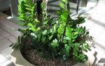 Замиокулькас: 3 способа размножения и правила выращивания