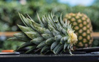 Ананас едим, а верхушку оставляем — из нее можно дома вырастить новый фрукт