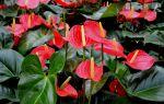 5 секретов невероятно пышного цветения антуриума