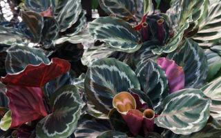 Выращивание калатеи медальон: оптимальные условия