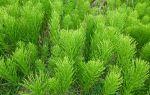 Избавляемся от хвоща: 3 лайфхака, как устранить опасный сорняк