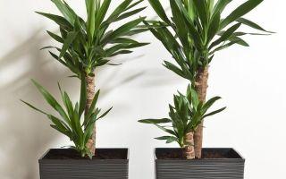 7 растений, которые не стоит покупать для маленьких квартир – цветы вырастают до 1,5 метров и выше
