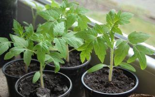 Когда и как пересаживать рассаду томатов из общего ящика в отдельную тару
