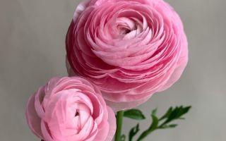 6 комнатных цветков не являются розами, но очень на них похожи
