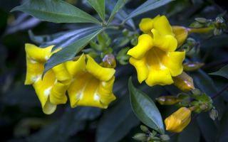 6 комнатных растений с крупными цветами