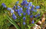 Пролеска: описание, болезни, выращивание в саду