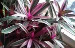Колдовство цветка рео — польза или вред, 12 фото