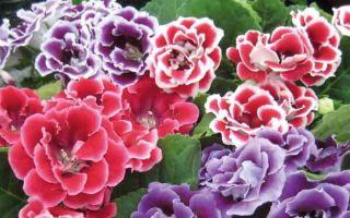 Лучшие сорта махровых глоксиний – особенности посадки и ухода