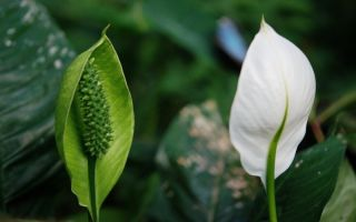 Почему у спатифиллума зеленеют цветы: как предотвратить проблему